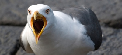 Zombie Seagull